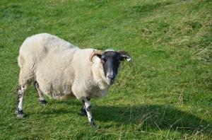 Cutest sheep EVER!