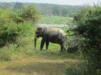 sri_lanka_elephant