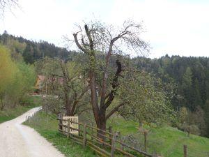 Easter treecutting