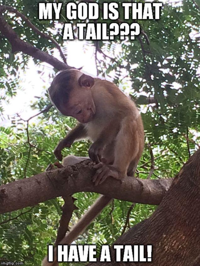 monkey memes - tail