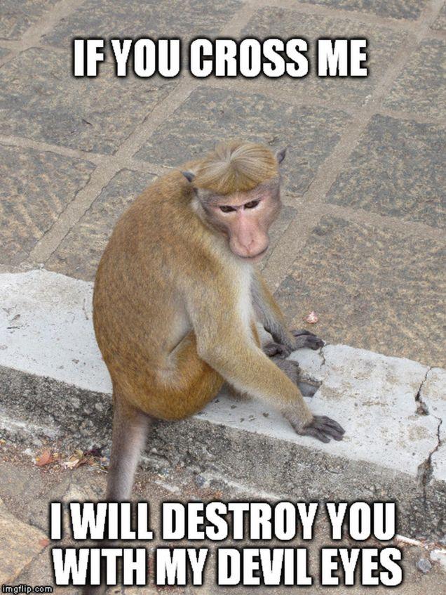monkey memes - devil eyes