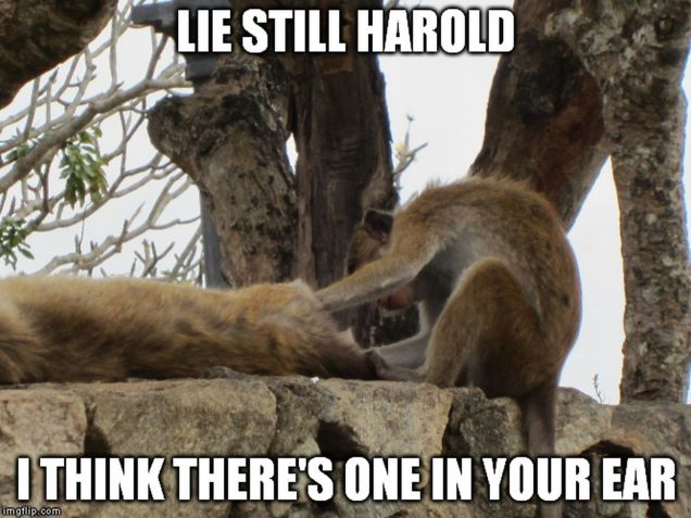 monkey meme - lie still harold