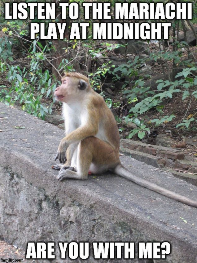 monkey meme - mariachi - are you with me