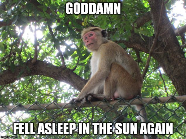 Monkey Meme Asleep in sun