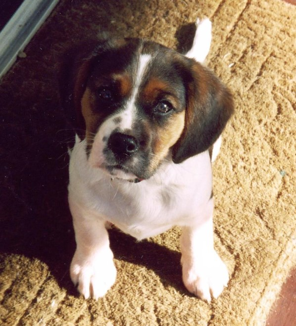 Captain dog beagle