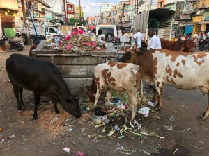 southern india cows