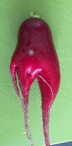 gardening radish