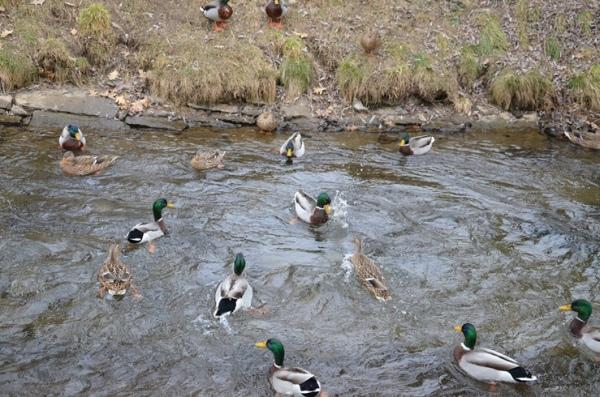 Wolfsberg - ducks