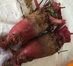 gardening beetroot