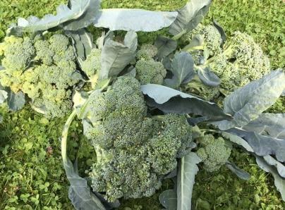 gardening brocolli