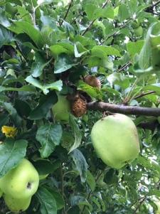 hornet rotting apples