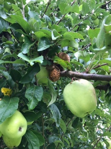 hornet rotting apples