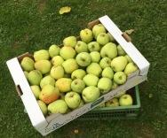garden_apples
