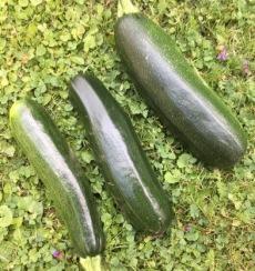 garden_zucchinis