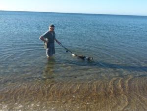 captain beagle swimming RIP