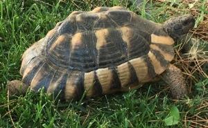 crete, greece, tortoise