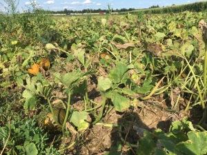 pumpkin seed oil pumpkins