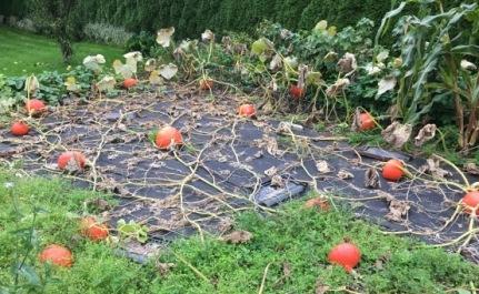 Garden pumpkins corn