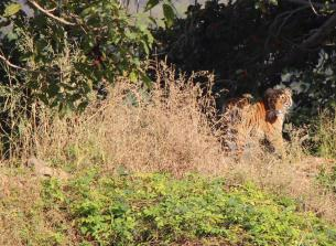 Tigers at Ranthambore national park