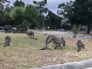 Grampians Kangaroos